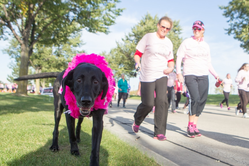 dog walks with pink outfit on during event